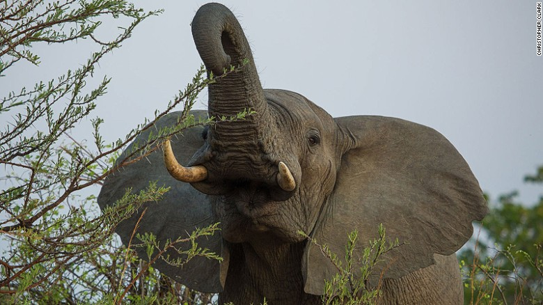 US to allow some imports of elephant trophies