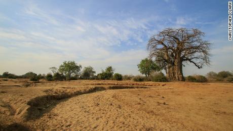 A Monkey Bread Tree, Lower Zambezi in Zambia.