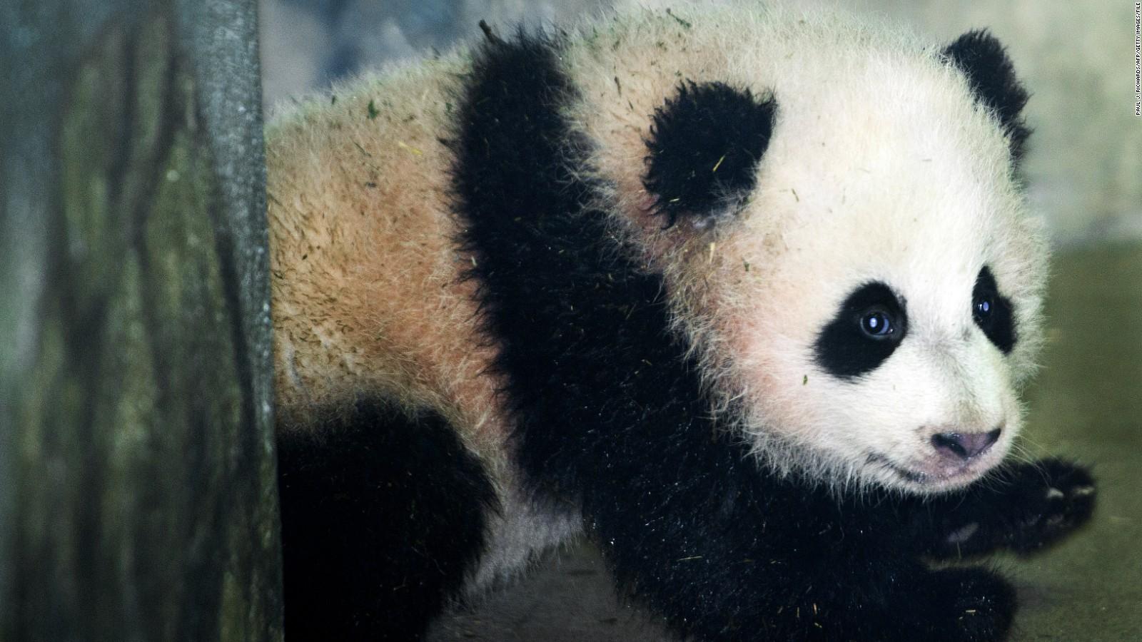 Paws crossed' for a healthy panda cub   CNN Travel
