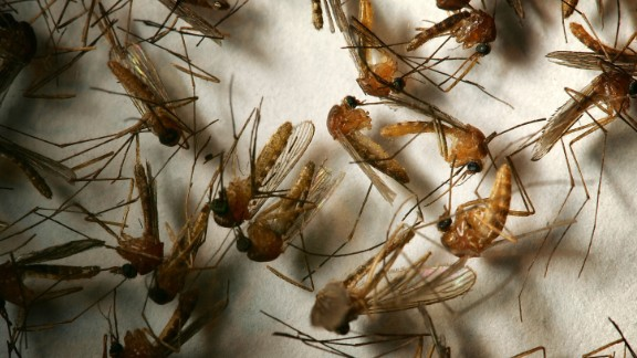 A field sample of mosquitoes that could carry West Nile Virus is seen at offices of the Riverside County Department of Environmental Health on April 26, 2007, in Hemet, California.