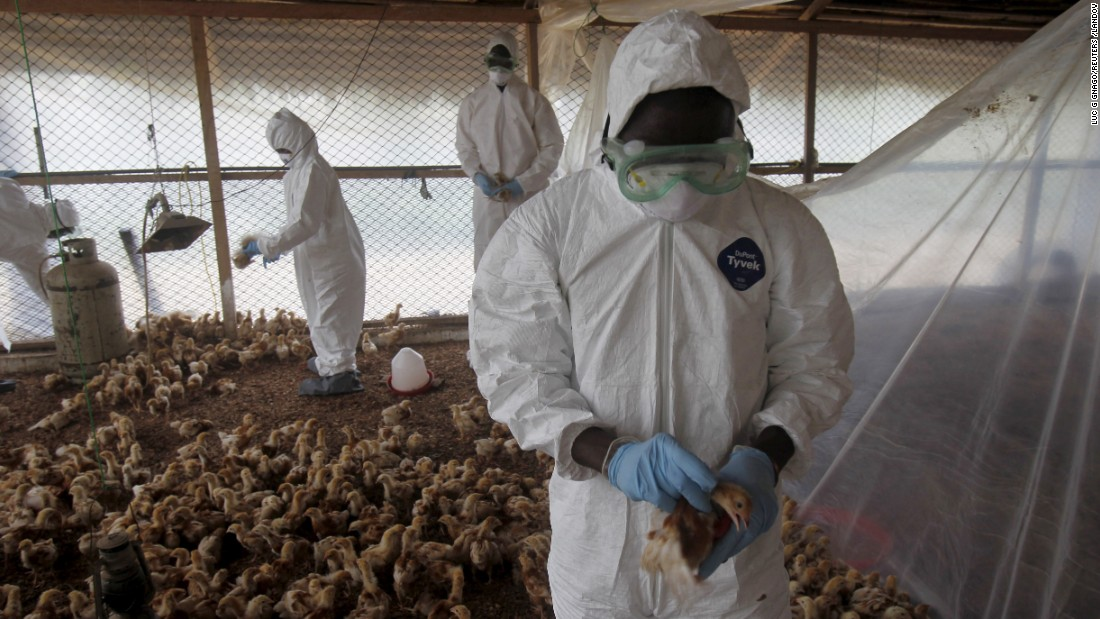 Workers in Modeste, Ivory Coast, cull chicks from a farm to contain an outbreak of bird flu on Friday, August 14.