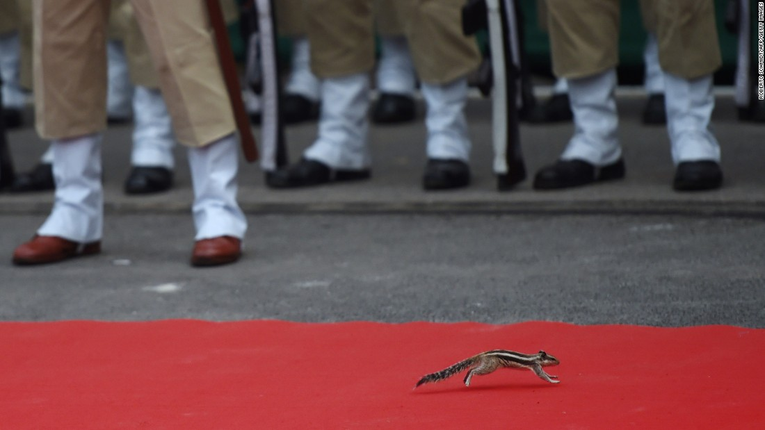 A chipmunk runs on a red carpet moments before the beginning of an Independence Day ceremony where Indian Prime Minister Narendra Modi delivered a speech in New Delhi on Saturday, August 15.