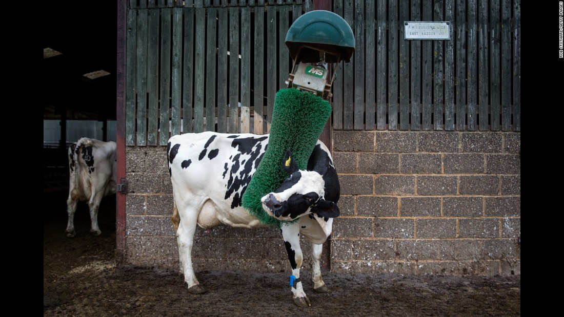 A cow scratches its back after being milked at a farm in Bozeat, England, on Sunday, August 16.
