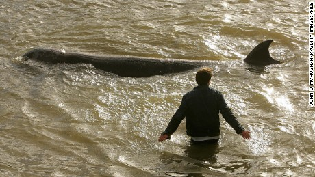 A northern bottle-nose whale swims along the banks of the River Thames in London in 2006.