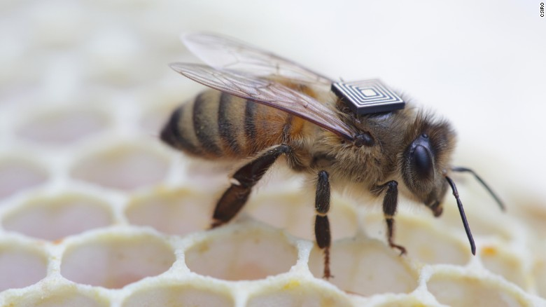 Honeybees with tiny 'backpacks'