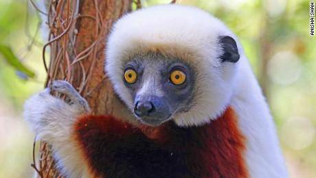 Back from the brink: Lemurs of Madagascar