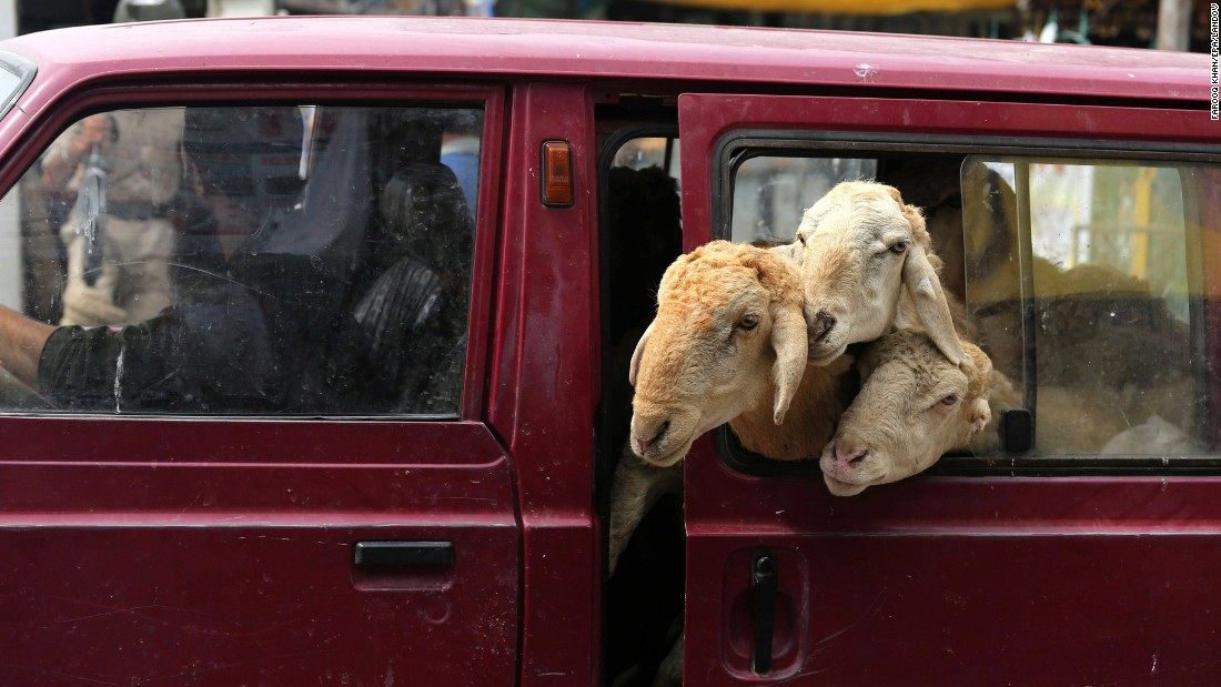 Sheep peer out of a car window in Srinagar, India, on Friday, August 21.