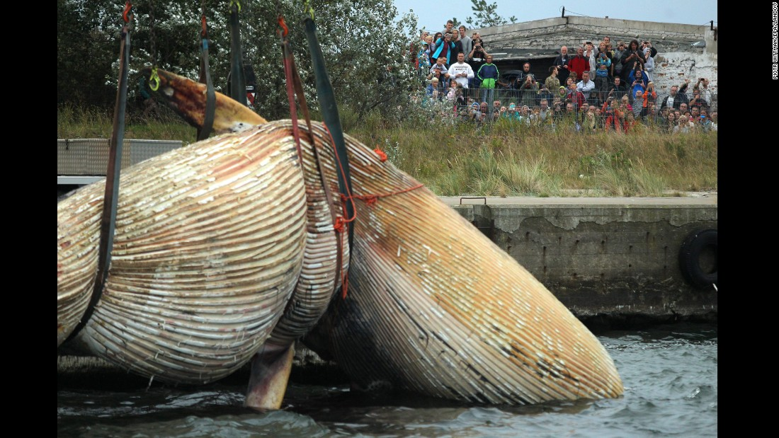 The carcass of a whale is lifted in Hel, Poland, on Tuesday, August 25. The whale was found three days earlier at a beach in Stegna, Poland, and scientists were going to examine the carcass to determine species, sex and cause of death.