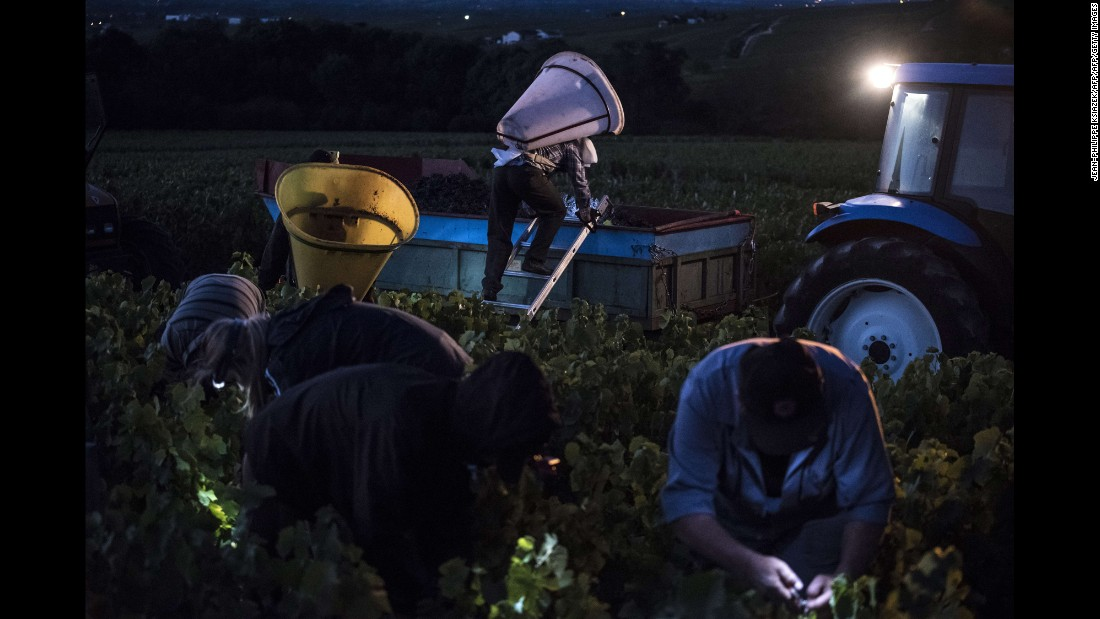 "Workers pick grapes in a vineyard near Chenas, France, early on Wednesday, August 26. The grapes are being harvested during low temperatures to produce a ""fruity and tender"" wine."