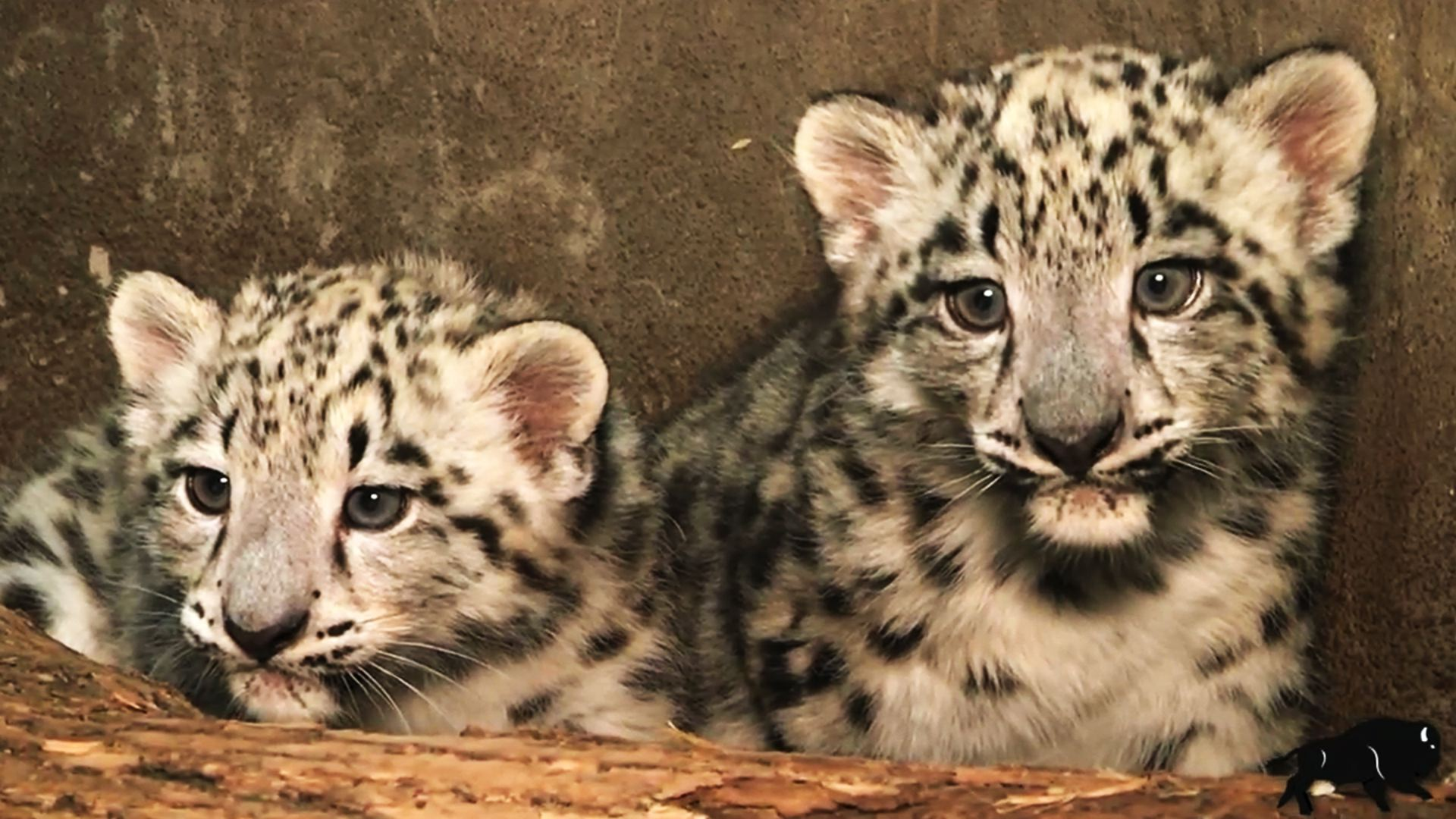 Newborn Snow Leopards Ready For Their Closeup