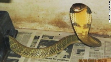 An 8-foot-long king cobras slithered away from his Orlando home and was still missing Wednesday night.