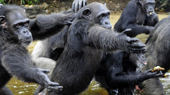 """Chimpanzees chow down at feeding time on """"Monkey Island,"""" a colony of former research lab captives on an atoll deep in the jungle of southern Liberia. The colony of more than 60 chimps has been at the center of an international storm since the New York-based blood bank that funded their care pulled out in March."""