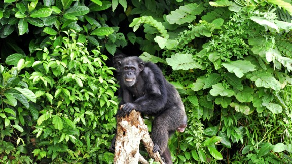 The New York Blood Center did tests on the chimps for hepatitis B and other diseases in Liberia in the 1970s, stopping about a decade ago. The center had paid for their care ever since but this year discontinued funding.