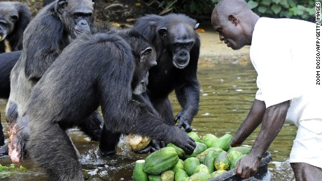 TO GO WITH AFP STORY BY ZOOM DOSSO  This photo taken on June 29, 2015 shows the feeding of chimpanzees from Monkey Island, a celebrated colony of former research lab captives on an atoll deep in the jungle of southern Liberia. The colony of 66 chimps has been at the centre of an international storm, however, since the New York-based blood bank funding it announced in March it was stopping the cash. The only significant inhabitants of the six islets, the chimps have been living an idyllic existence, fed by human volunteers on their very own 'Planet of the Apes' -- a nickname given to the archipelago by local media. AFP PHOTO / ZOOM DOSSO        (Photo credit should read ZOOM DOSSO/AFP/Getty Images)