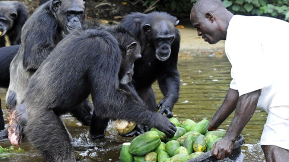 A staff of 25 people makes daily trips to the island with nearly 500 pounds of food per day, at a cost of $20,000 per month, according to the Humane Society of the United States, which is now helping care for the primates.