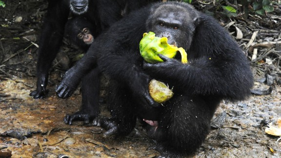 The Human Society of the United States is asking for help from various quarters, including the public, to continue funding efforts to bring food, water and possibly medical care to the chimpanzees, who are confined to the islands.