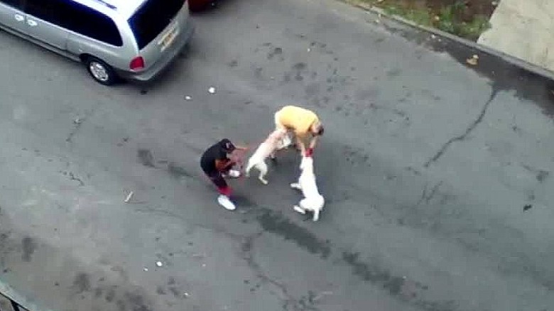Pit bulls attack man in New York