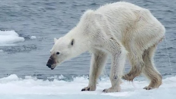 polar bear arctic climate change orig mg nws_00010716.jpg