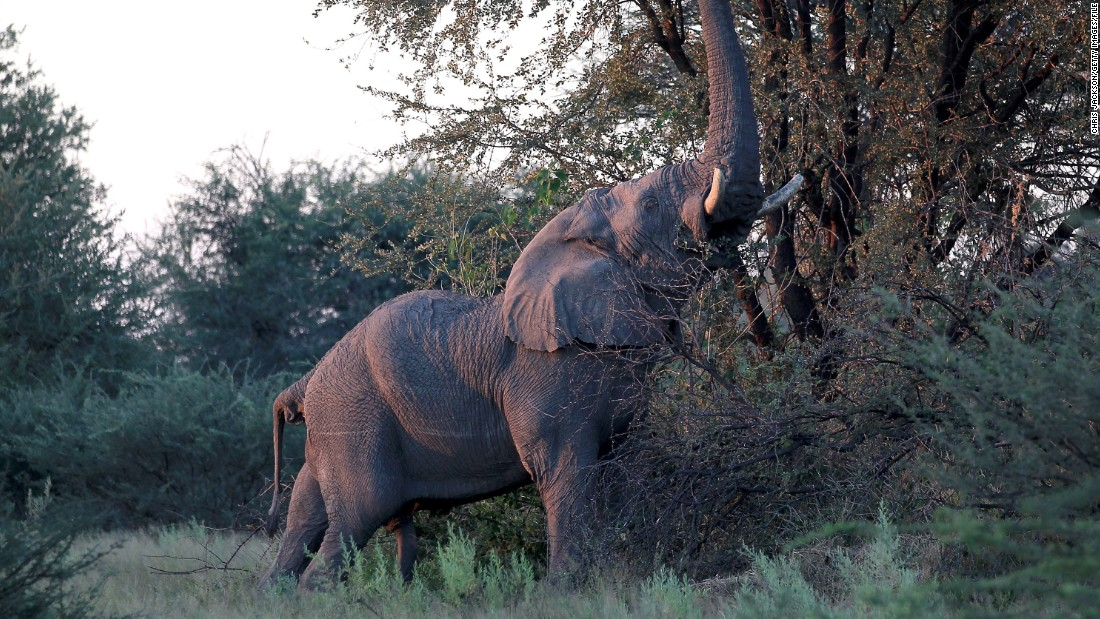 An elephant reaches for branches outside the Kingspool Luxury Safari Camp.
