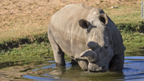 One of four remaining northern white rhinos dies