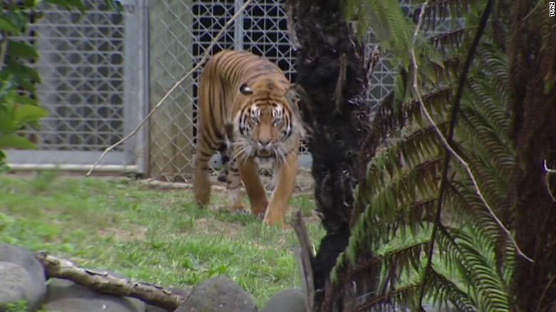Tiger Kills Zookeeper In New Zealand Cnn