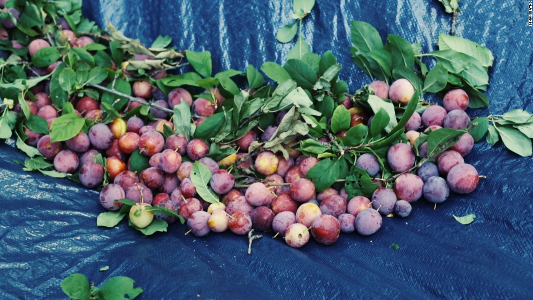 Plums are some of the most prevalent fruit trees in Atlanta and can be found in public parks and people's yards.
