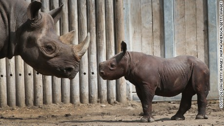 Record number of rhinos slaughtered last year in Africa