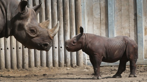 CHICAGO, IL - SEPTEMBER 17:  King, an Eastern black rhinoceros born August 26, makes his public debut at the Lincoln Park Zoo with his mother Kapuki on September 17, 2013 in Chicago, Illinois. King