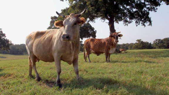 Like all ruminant animals, cattle burp methane as they digest grass.
