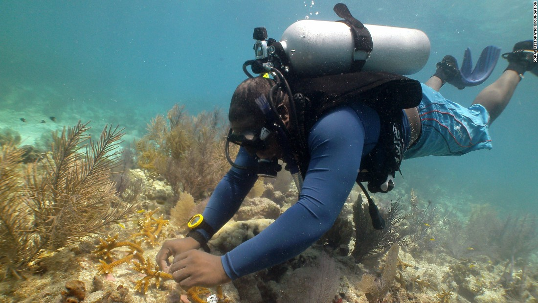 A diver transplants colonies of the branching staghorn coral to reefs in the Florida Keys.