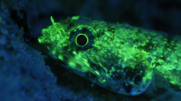 Does the fluorescent lizardfish glow to communicate with other fish? There is a light show in the ocean that you may not be able to see, but many fish can. The discovery of what is hidden from human eyes -- biofluorescence in 180 species of fish -- brings up this and many questions for researchers.