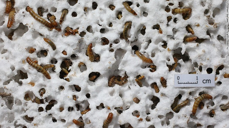 It's mealtime for these mealworms, which researchers have found are able to eat Styrofoam. The waste they produce from these dubious snacks is biodegradable.