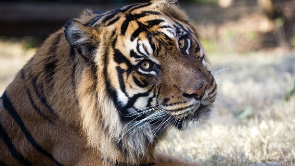 """The University of Georgia's Regenerative Bioscience Center is building a """"frozen zoo,"""" a genetic storage center that scientists believe will someday save endangered species from extinction. The team has already extracted cells from this Sumatran tiger named Jalal."""