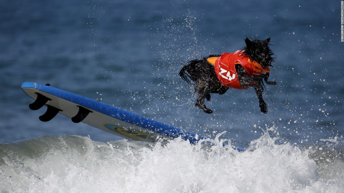 A dog wipes out during the Surf City Surf Dog Contest in Huntington Beach, California, on Sunday, September 27.