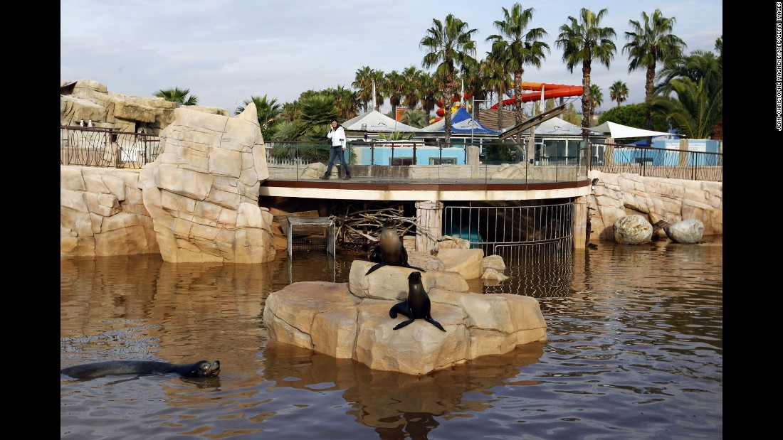Sea lions swim in muddy water at a zoo in Antibes, France, on October 5.
