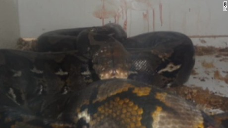 911 call captures panic as python attacks owner