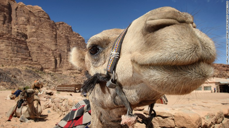 How the dromedary is making a comeback