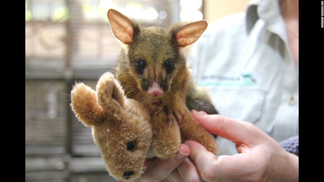 A veterinary nurse from Taronga Wildlife Hospital took care of this baby brushtail possum after she was found in Mosman, Australia.