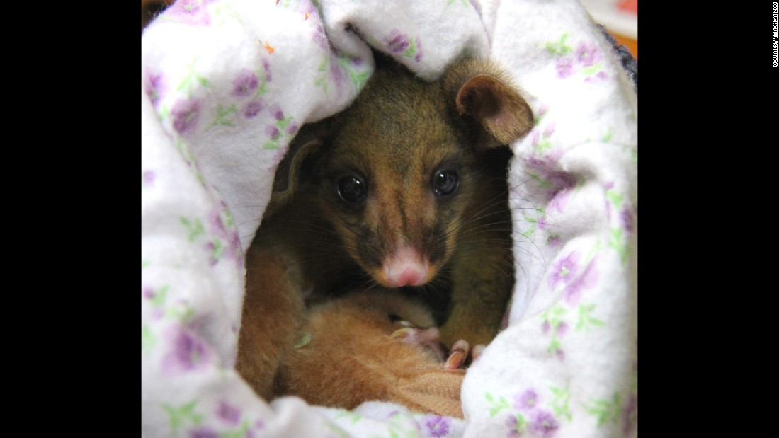 The possum has doubled in size since she was found.