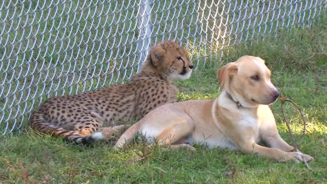 Baby Cheetah And Dog Friends