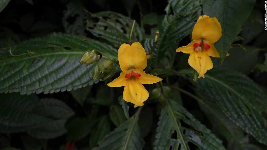 A wildflower called the Impatiens lohitensis is one of six new plant species discovered, the WWF said.
