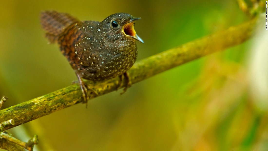 The spotted wren-babbler Elachura formosa will be difficult to spot, as it normally hides in dense undergrowth, WWF said.