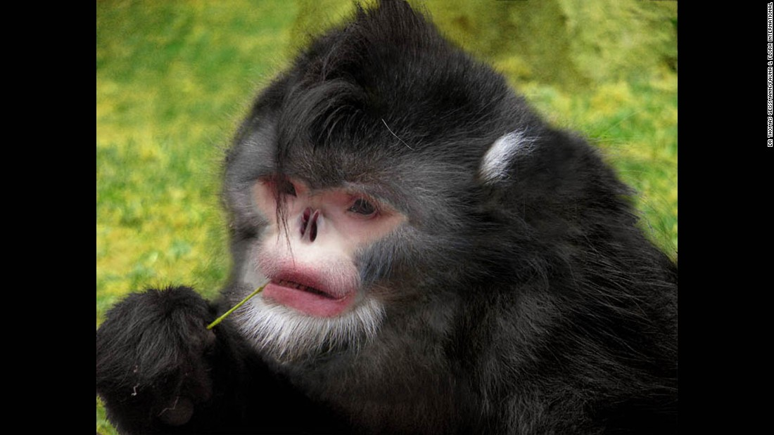 The Burmese snub-nose monkey is depicted in this digitally created image. Only recently has the animal been photographed in the wild.