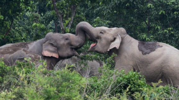 A pair of wild elephants lock trunks as they stray close to Kolabari village in Naxalbari, some 50 kms from Siliguri, on June 4, 2014. Indian forest guards along with local villagers used firecrackers to scare away the wild elephants, following sighting of the herd which created unease among local villagers. Human-elephant conflicts are on the rise in India as villagers and farmers encroach on the natural habitats of pachyderms. AFP PHOTO/ Diptendu DUTTA        (Photo credit should read DIPTENDU DUTTA/AFP/Getty Images)