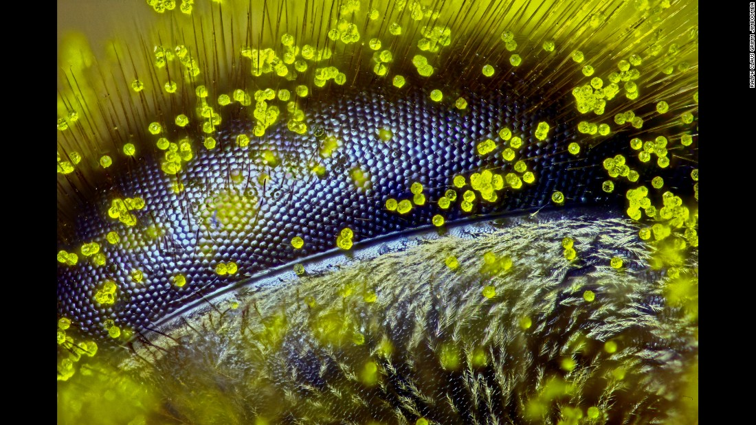 "Australian Ralph Grimm of Jimboomba, Queensland, captured this incredible close-up of a bee's eye covered in dandelion pollen grains. The<a href=""http://edition.cnn.com/2015/10/14/world/nikon-small-world-photomicrography-bees-2015/index.html""> image won first prize</a> in the 2015 Nikon Small World photomicrography competition. Grimm used reflected light to capture the 120x image."