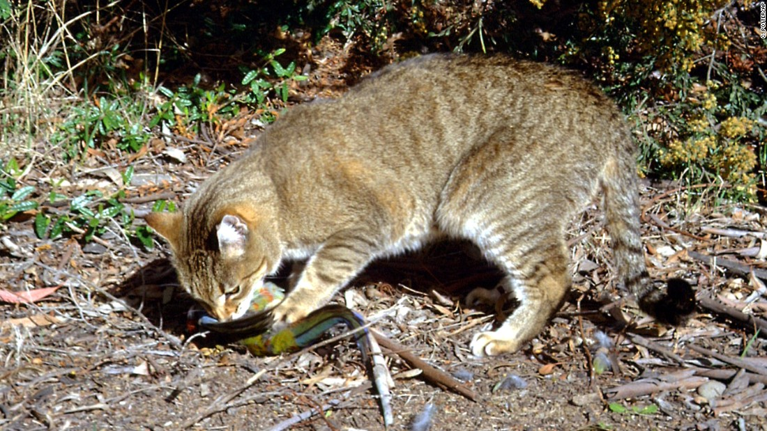The case against cats: Why Australia has declared war on feral felines