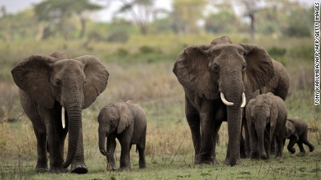 Treasure or trophy? Legal hunt for big elephants leaves many conflicted