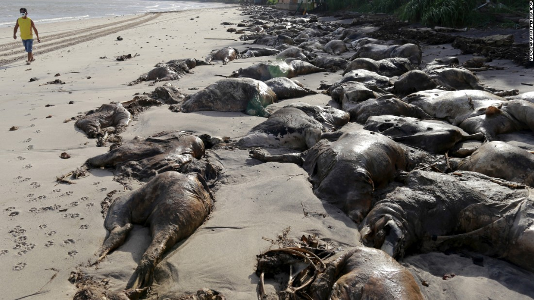 Dead cows are washed up on Brazil's Gatos Mortos beach on Tuesday, October 13. A Lebanese ship loaded with about 5,000 cows capsized earlier this month at a port in Barcarena, Brazil. Most of them perished.