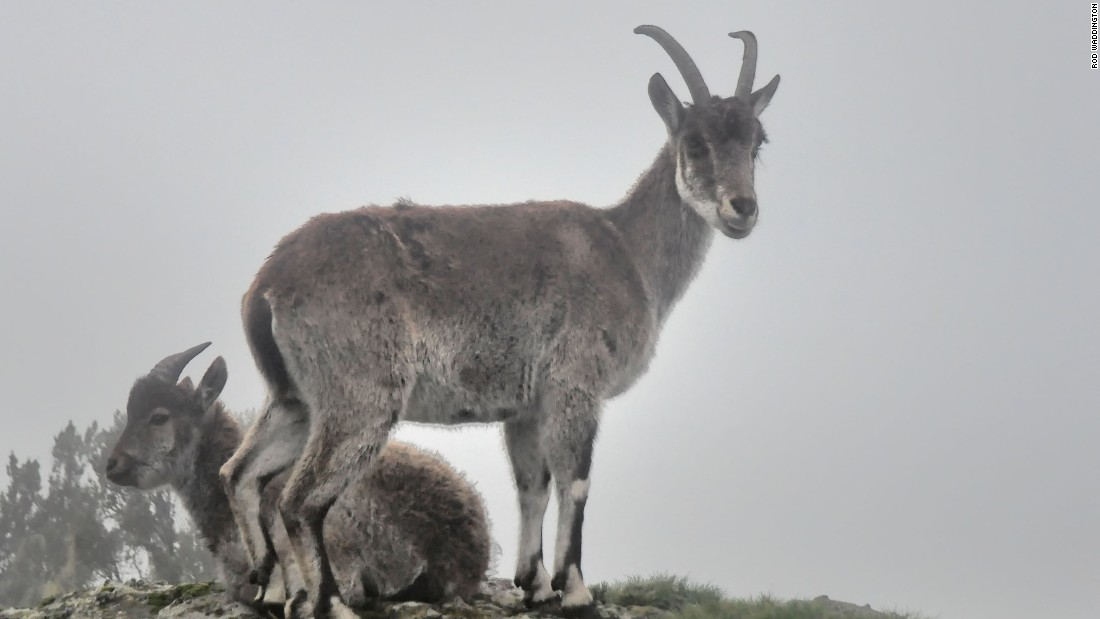 Ethiopia's mountain goat -- aalia ibex -- is found exclusively at Simien Mountain National Park.