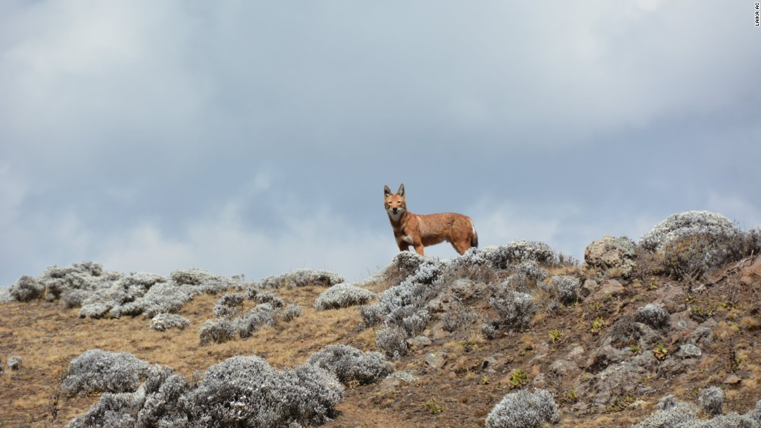 The elusive Ethiopian wolf can live at heights above 13,000 feet. <br />
